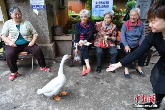 昆明一老人养宠物鹅当街遛
