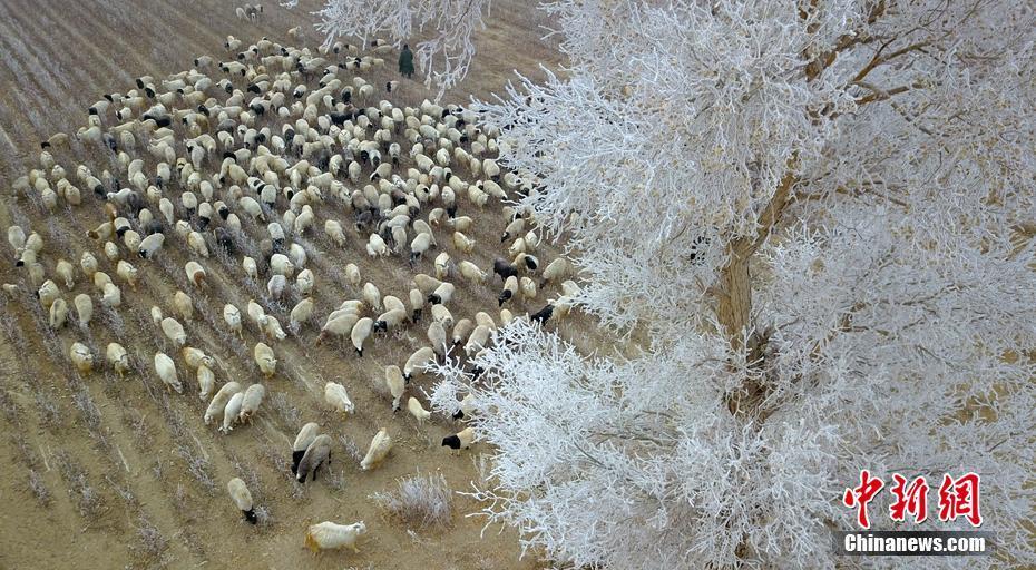 <p>  12月19日(ri),新疆�台�h(xian)草湖�l可可�虼迥撩衲旧�?�排(pai)科在��M�F 的(de)胡��(yang)中(zhong)放(fang)牧。�_?胡�� �z</p>