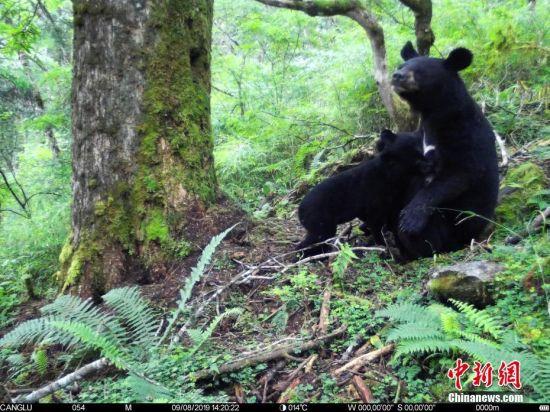 四(si)川(chuan)�P(wo)��首次(ci)拍到(dao)��洲黑熊哺乳��(hua)面