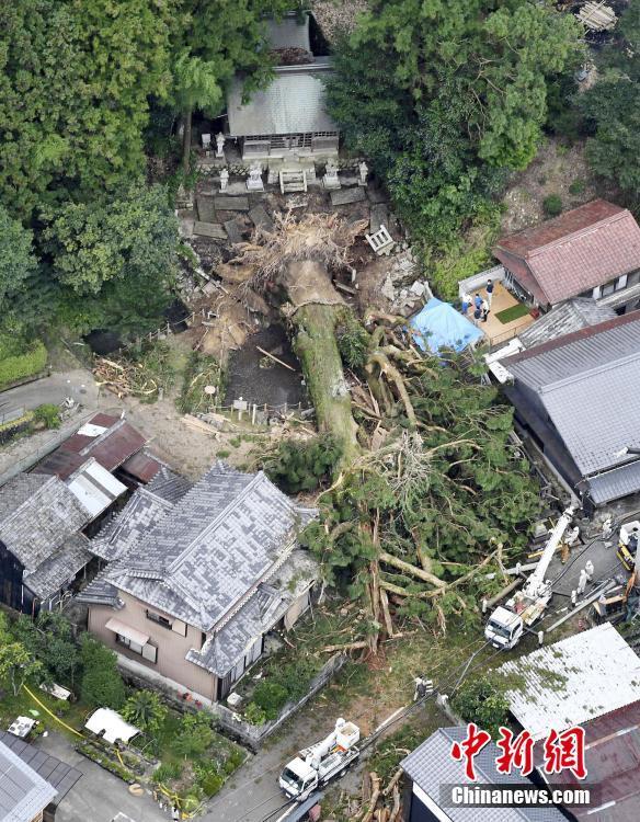连日暴雨日本多处世界遗产被毁:千年神木连根倒地