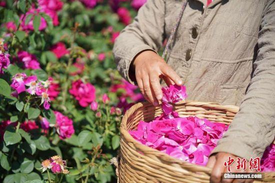云南大学玫瑰盛开 食用观赏两相宜