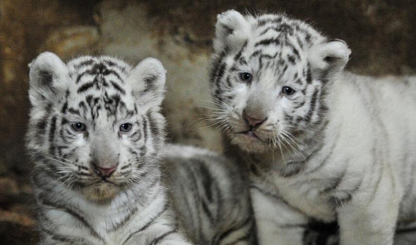 云南野生动物园白虎宝宝满月