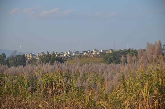 当地甘蔗成熟将进入榨糖季。