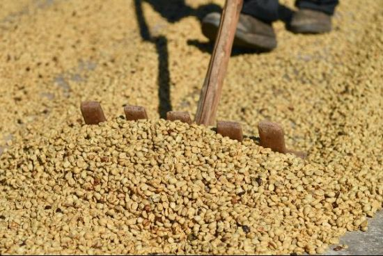 1月30日,普洱咖农在太阳下晒咖啡。