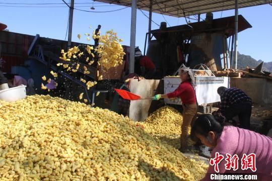 图为罗平县小黄姜获丰收。 钟欣 摄