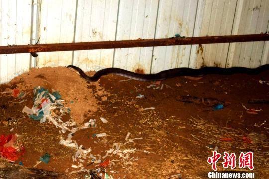 图为藏在工棚内的眼镜王蛇 解雄波 摄