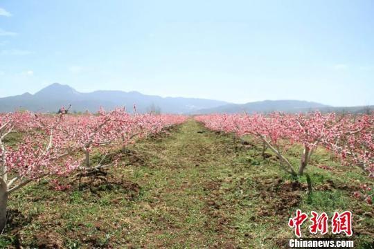 资料图,图为丽江雪桃种植基地。 丽江外宣办供图