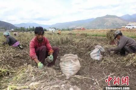 图为大理洱源县农民在地头挖蒜 钟欣 摄