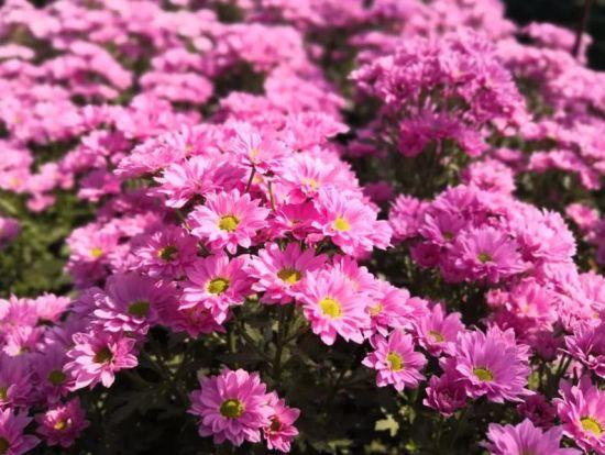 开远国家现代农业产业园:防疫复工同步行!14万支鲜花直供北京!