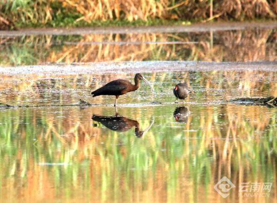 时隔三年,滇池湿地再现彩�q翩飞
