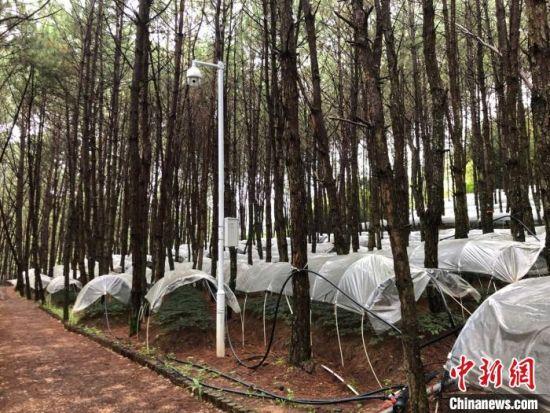 图为澜沧县的林下三七产业。 缪超 摄