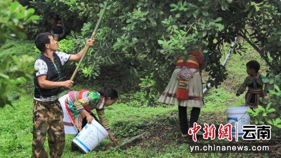 云南果丰收,农民从脱贫走向小康。