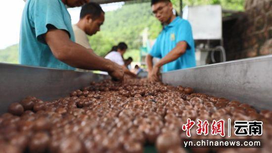 (临沧成为世界最大澳洲坚果种植基地。今年5月,临沧所有贫困县全部脱贫摘帽。
