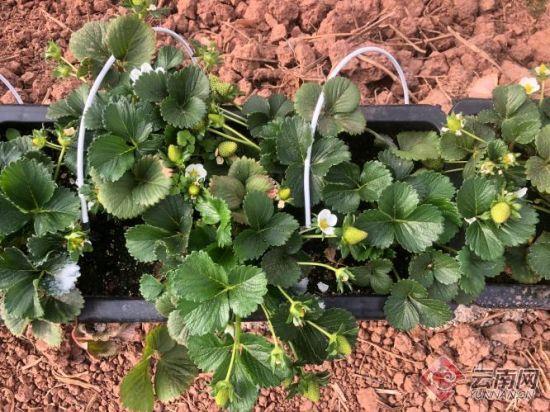 草莓种植基地