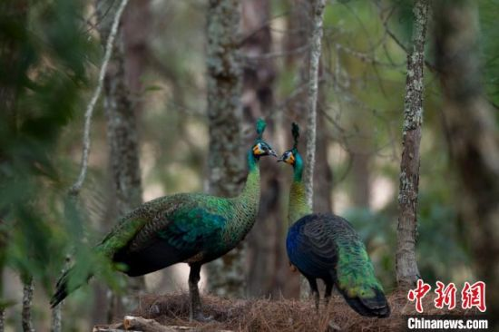 图为绿孔雀。 云南省林业和草原局提供