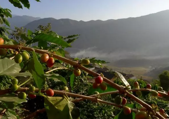 云南咖啡:为何1公斤咖啡豆难换1杯咖啡?