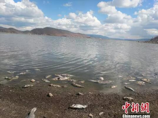 【聚焦云南】香格里拉纳帕海现大量死鱼!怎么回事?