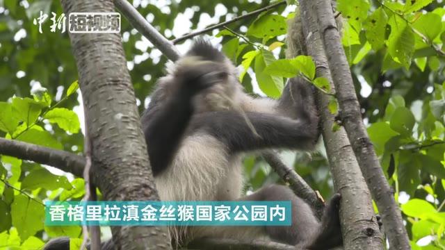 人不如猴系列:嬉戏、吃松萝 围观滇金丝猴的惬意生活