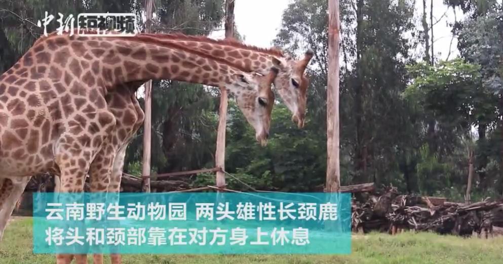 """两长颈鹿相互倚靠上演""""友情岁月"""""""