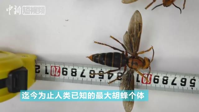 """昆虫专家在云南发现""""超级大黄蜂"""" 体长超6厘米"""