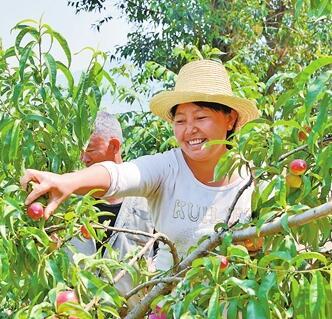昌宁柯街:千亩油桃熟了