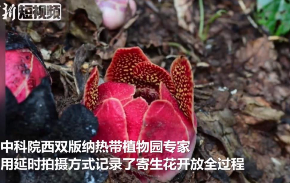 太美了(liao)!�<已�r��西�p版(ban)�{寄生花�_放(fang)�^程(cheng)